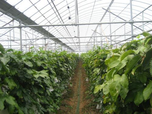 金城正浩さんの経営する、パッションフルーツ農場を見学します