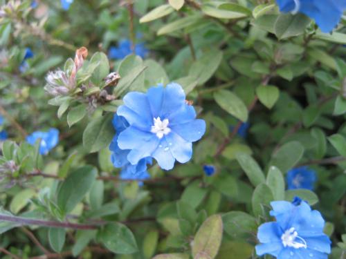 金城家の庭先に咲いている、イッペイの花