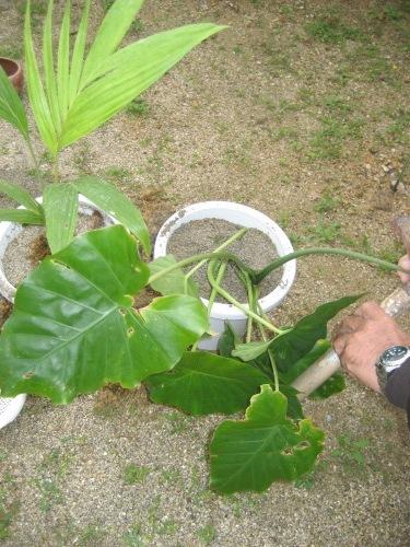 ヤシの植木とクワズイモは、金城正則さんに預かってもらいます