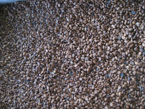 コーヒー豆を栽培