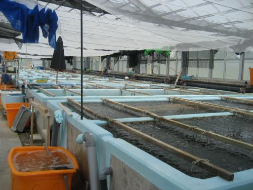 海ブドウも大変な作業の連続です