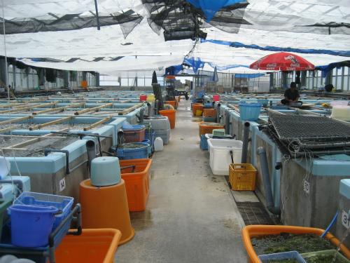 海ブドウは、採れすぎると、値崩れをするので、出荷調整も必要です