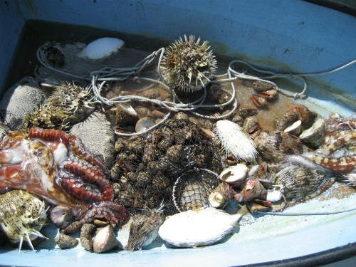魚、貝、タコ、ハリセンボンがたくさん採れていました