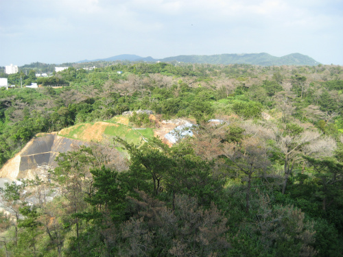 松の木が、マツクイムシに、いっぱいやられています