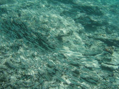 魚の大群がやってきました