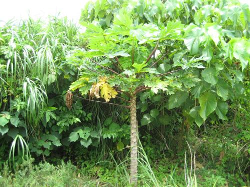 畑の脇には、パパイヤやバナナが実っています