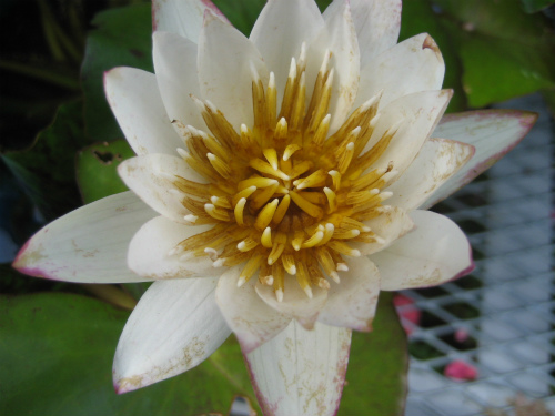 外には、水槽に並んだ睡蓮の花が咲いています
