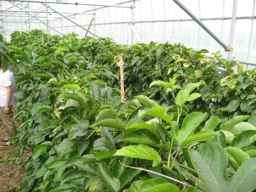 パッションフルーツの農場