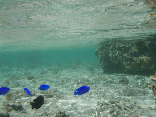 コバルトブルーのルリスズメダイ(コバルトスズメ)が見えます