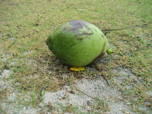 椰子の実が台風の雨と風で落ちてしまったようです