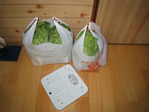 金城家で白菜