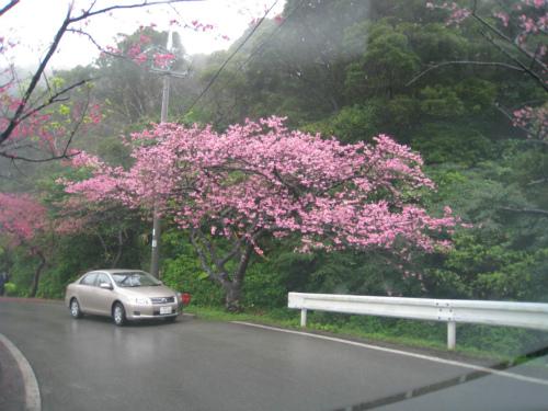 八重岳の緋寒桜