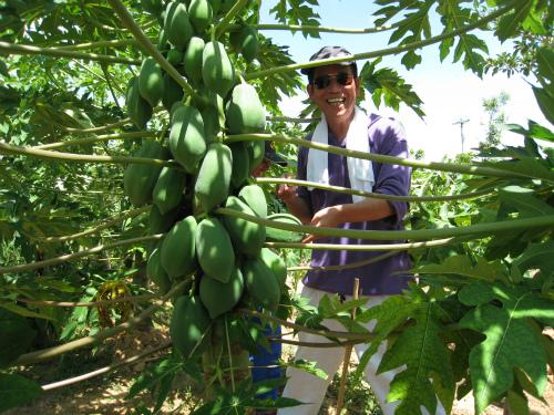 パパイヤの収穫