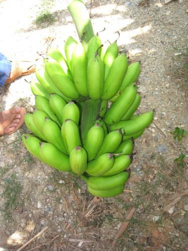 松田正さんのお友達の畑のバナナ