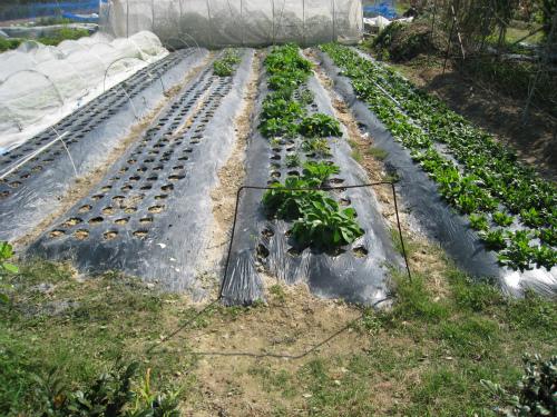 菊の苗を作っている苗床