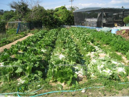 マルチビニールで地熱を温めて、野菜の促成栽培をしている畑