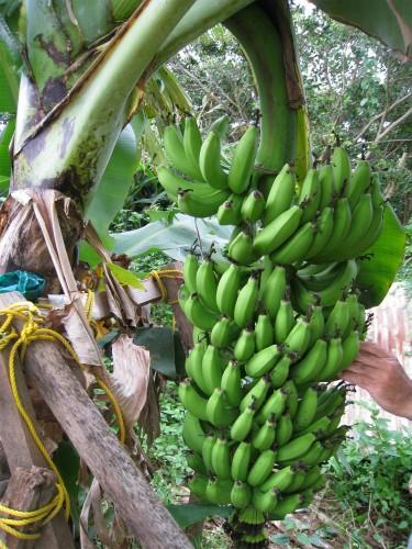 山城興善さんの畑でバナナの収穫