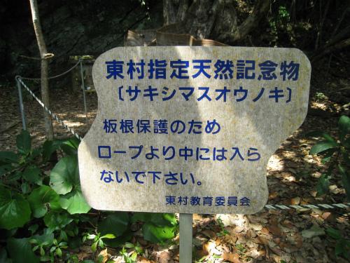 東村指定天然記念物のサキシマスオウノキ