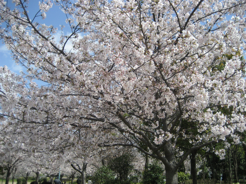 八幡屋公園の桜