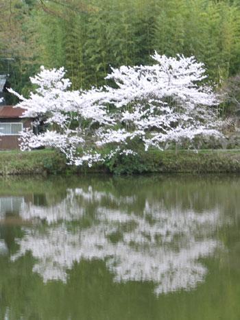 こごめ桜(雪柳)