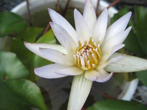 松葉博雄のいい写真撮りたいな:「睡蓮の目覚め」