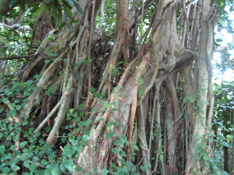 松葉博雄のいい写真撮りたいな:「ガジュマロの根」