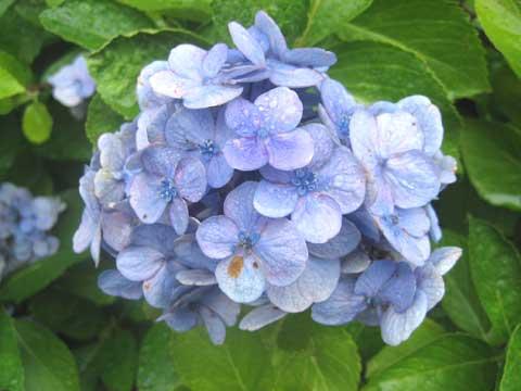 松葉博雄のいい写真撮りたいな:「露を浴びた紫陽花」