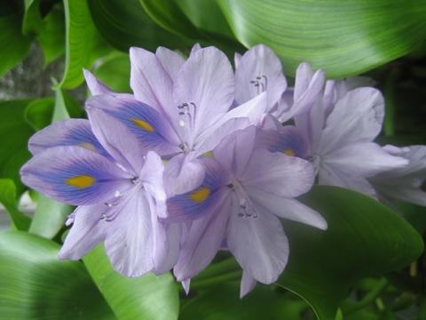 松葉博雄のいい写真撮りたいな:「綺麗なお花にご用心 ウォーターヒヤシンスの増殖の凄」