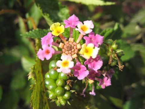 松葉博雄のいい写真撮りたいな:「花の色の七変化「ランタナ」の花」