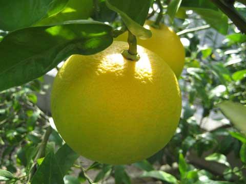 松葉博雄のいい写真撮りたいな:「柑橘類の膨らみ」