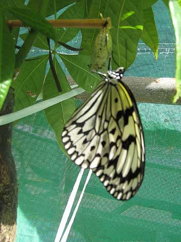 松葉博雄のいい写真撮りたいな:「間もなく大空に飛び立つ孵化した蝶々」