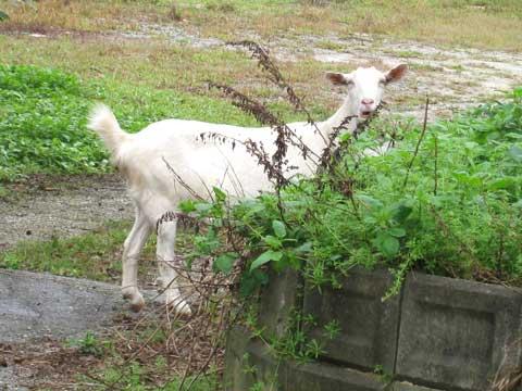松葉博雄のいい写真撮りたいな:「首に輪を掛けられ、紐でくくられ、繋がれていないヤギは、自由に気ままに草を食べています」
