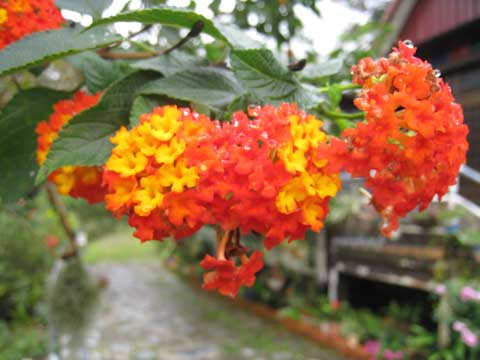 松葉博雄のいい写真撮りたいな:「沖縄の東村字有銘の道端にひっそり咲くランタナ」