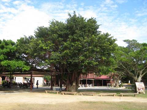 松葉博雄のいい写真撮りたいな:「大地に根を張るガジュマロの樹」