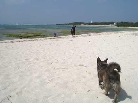 松葉博雄のいい写真撮りたいな:「ツノマタ採りに珊瑚礁の浅瀬に出かける主人を見送る忠犬リーの待ちわびる姿」