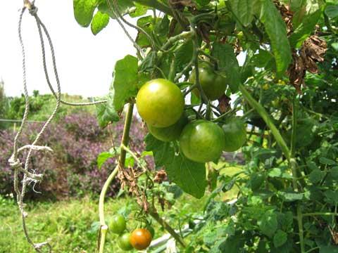 松葉博雄のいい写真撮りたいな:「沖縄県恩納村冨着の菜園で見たミニトマト」