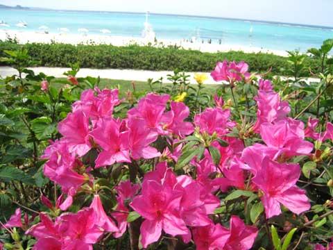 松葉博雄のいい写真撮りたいな:「サツキの咲く向こうの白いビーチには、若い元気な華が躍動しています」