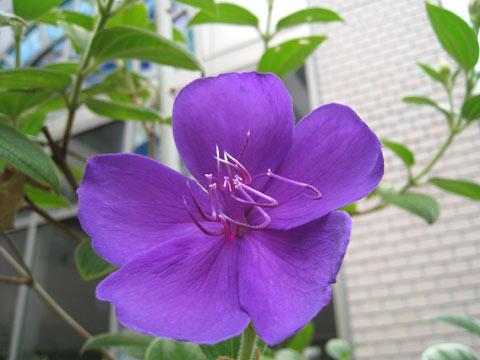 松葉博雄のいい写真撮りたいな:「沖縄で見た紫紺野牡丹を神戸の神鋼病院の中庭で見つけました」
