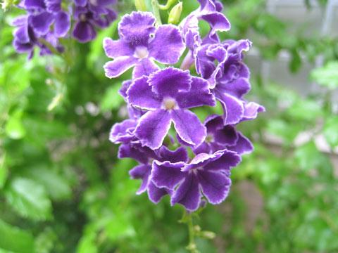 """松葉博雄のいい写真撮りたいな:「デュランタの花言葉""""あなたを見守る""""」"""