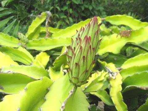 松葉博雄のいい写真撮りたいな:「ドラゴンフルーツの蕾は、数時間後には美しい花を咲かせます」