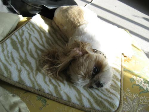 柔らかいものに顔を摺り寄せる、シーズー犬りんりん