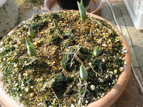 庭のチューリップの球根が芽を出していました