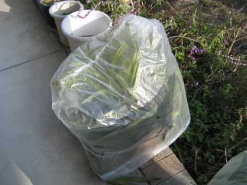 野外に出しているシンピジウムにはビニール袋をかけます