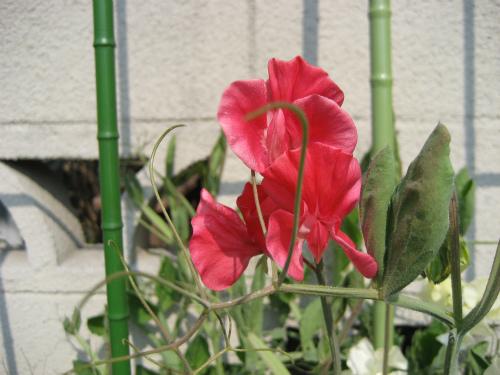 家の周りを歩いてみると、もうスイートピーが咲いていました