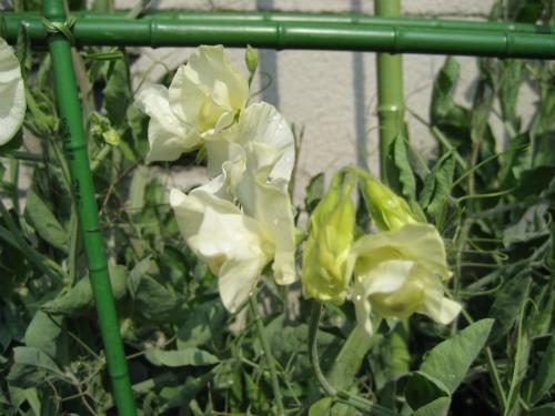 10月に種を蒔いておけば良かったと、反省します