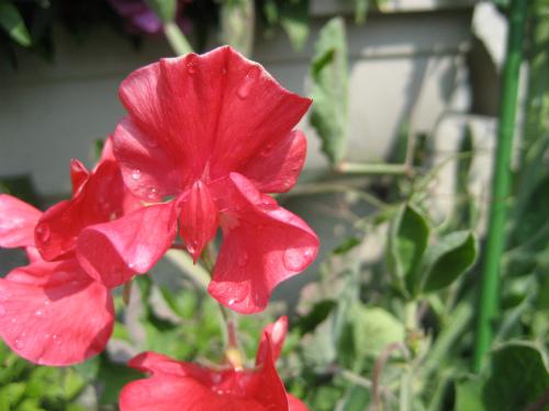 10月にスイートピーの種を蒔いておけば良かったと、反省します