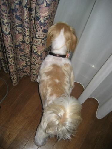我が家のパトロール犬として、庭に来たネコを追い払おうとするりんりん