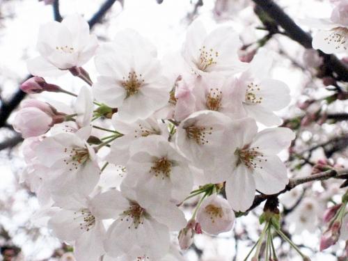 桜spc/写真/■その他■/●花、関連●/桜画像 051
