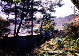 淡路の松の木