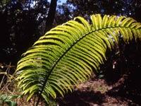 ハワイ島の植物